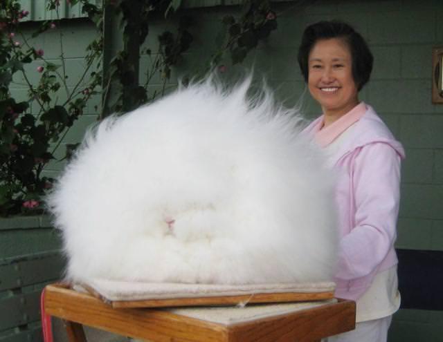 モコモコのウサギ - アンゴララビット