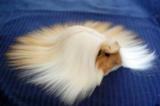 長すぎる毛並みを持つモルモット