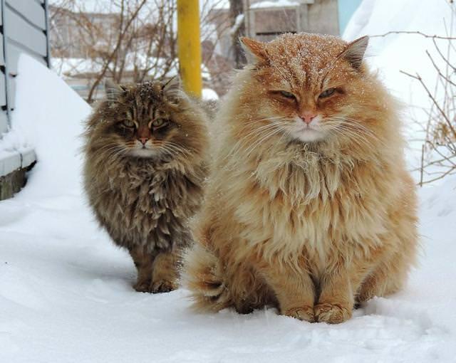 モフモフ毛皮のシベリア猫