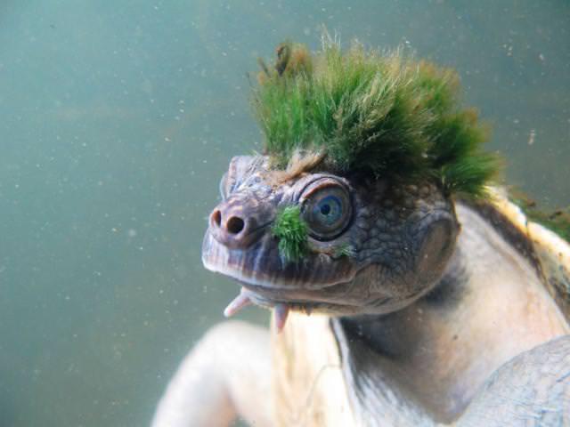 海草でモヒカンヘアを作り上げた亀(マリー・リバー)