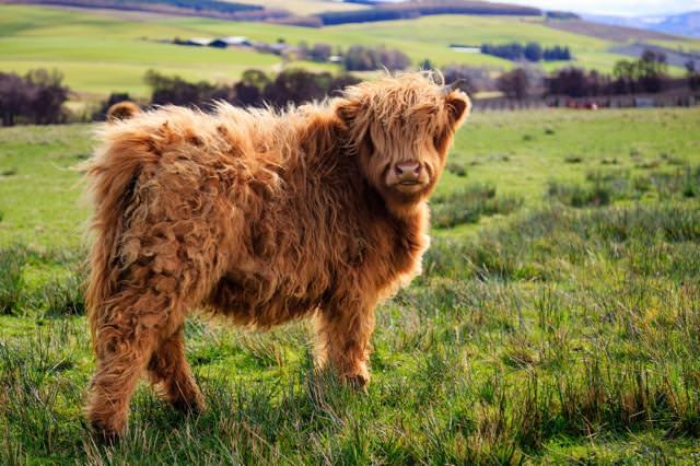 全身の毛がモコモコ過ぎる牛