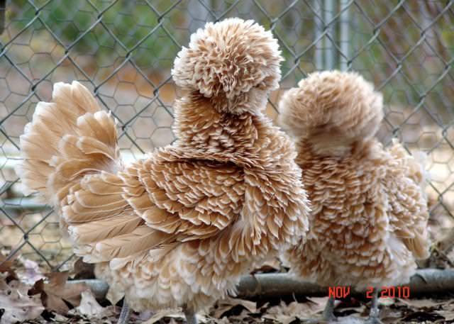 全身モコモコの毛皮で覆われたニワトリ(ポーランド)