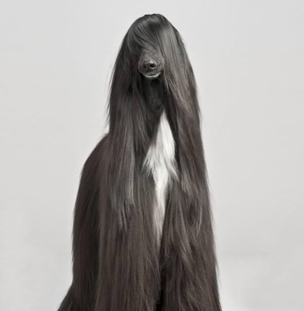 黒髪ロングヘアーの犬 - アフガン・ハウンド
