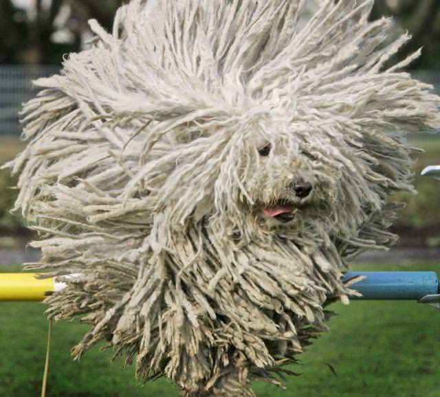 毛並みがモコモコな犬 - コモンドール