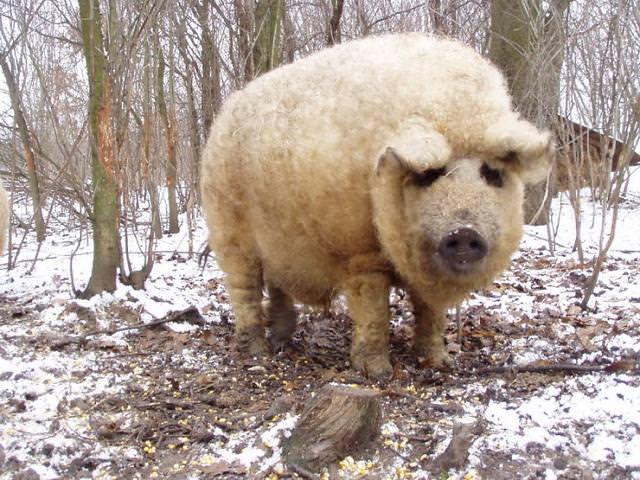 毛深すぎるモコモコの豚