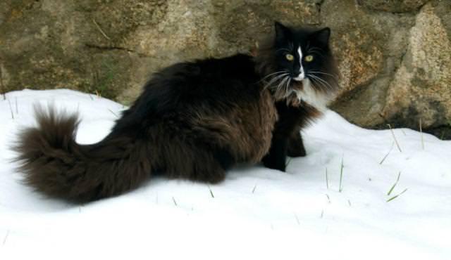 モフモフの毛皮が可愛い黒ネコ(ノルウェージャン・フォレスト・キャット)