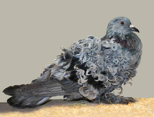 毛皮がカールしている珍しいハト