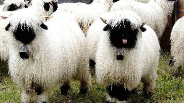 全身モコモコの羊 - ヴァレー・ブラックノーズ