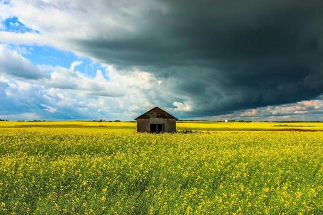 「菜の花畑」の中にたたずむ家(カナダ-アルバータ州)