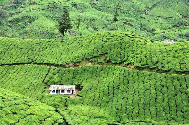 お茶畑の中にたたずむ小屋(ミャンマー)