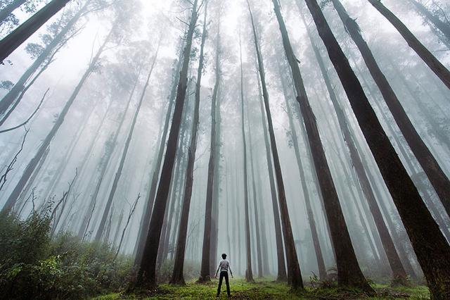 そびえ立つ針葉樹の森(オーストラリア)