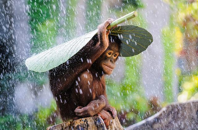 葉っぱの傘をさすオランウータン