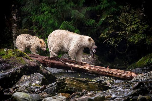 魚を捕まえたクマの親子