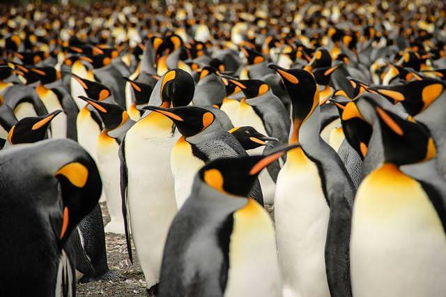 皇帝ペンギンの群れ
