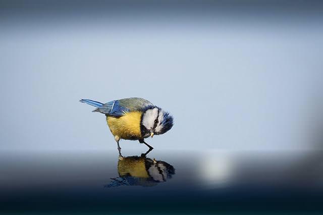水面に映った自らを眺め続ける小鳥