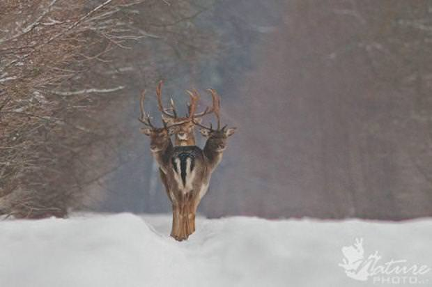 目の錯覚の面白写真:頭が3つに分身する鹿?!