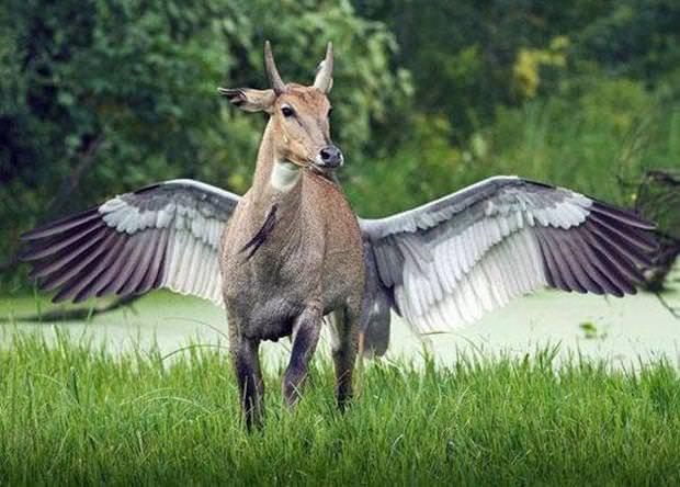 目の錯覚の面白写真:翼を持つシカ
