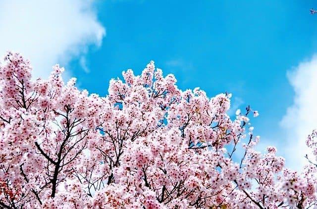 東欧カラー革命 - 日本では桜革命