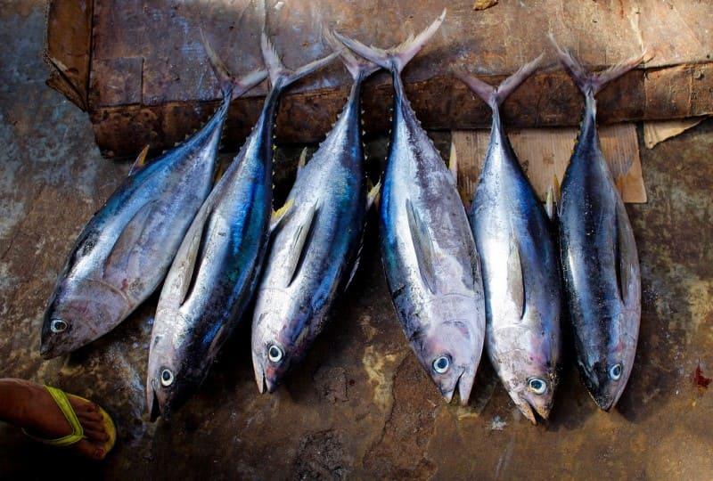 ツナの鮮魚